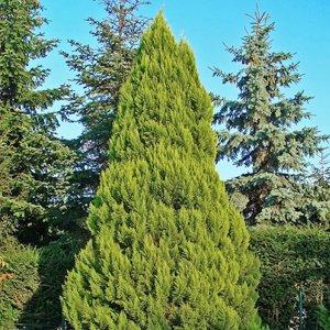 Иглолистни дървета
