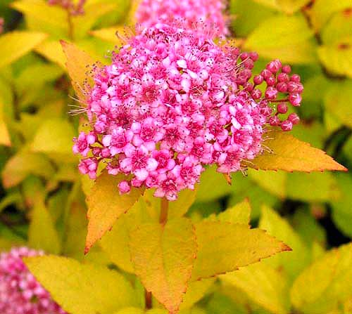 храсти Spiraea japonica 'Golden princess'