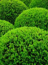 храсти Buxus sempervirens