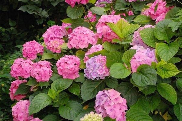 храсти Hydrangea hortensis