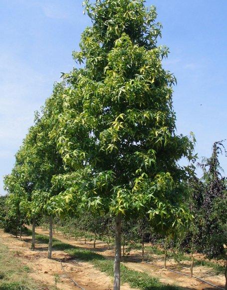 широколистно дърво Liquidambar styraciflua