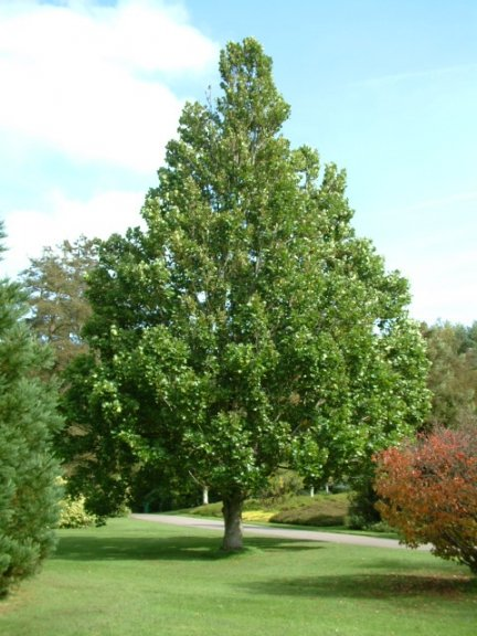 Liriodendron tulipifera широколистно дърво