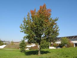 Quercus rubra широколистно дърво