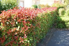 храсти Photinia serrulata
