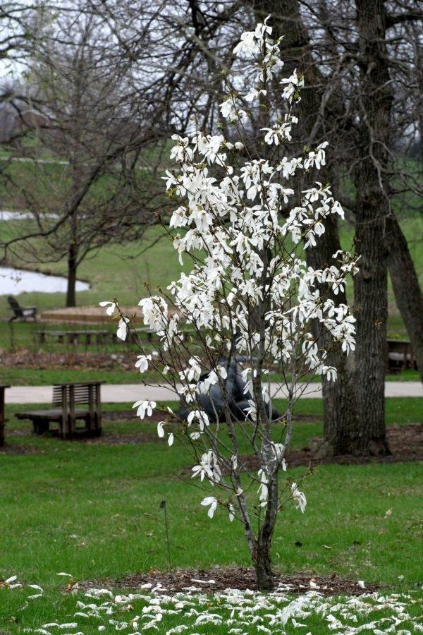 Magnolia kobus широколистно дърво