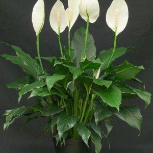 Spathiphyllum walisii
