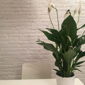 Lily of the peace