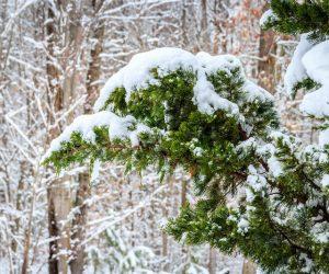 snegopochistvane-iglolistni